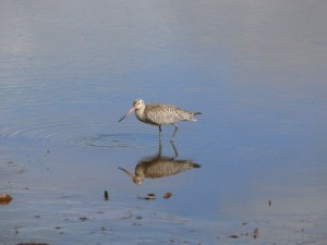 The Bar Tailed Godwit breeds in the arctic tundra of eastern Siberia and Alaska. They forage in shallow water and on exposed mudflats, walking slowly while probing with their beaks for prey.