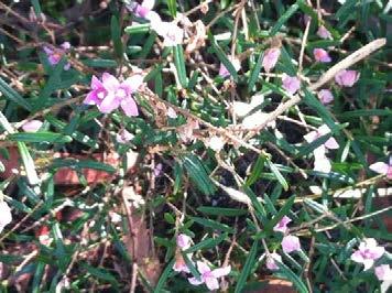 Forest Boronia (boronia rosmarinifolia)