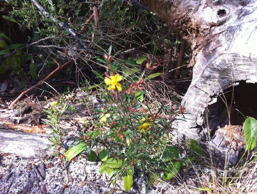 Guinea Flower (hibbertia salicifolia)