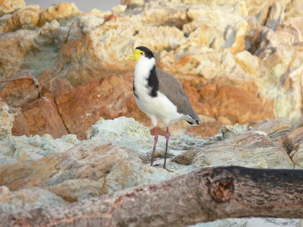Masked Lapwing, North Stradbroke Island