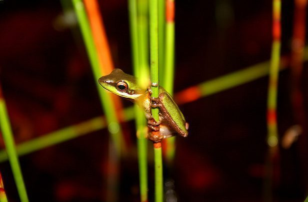 Wallum Sedge Frog, photo: Clay Simpkins
