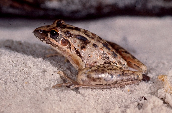 Wallum Rocketfrog