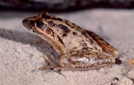 Wallum Rocketfrog – Litoria freycineti