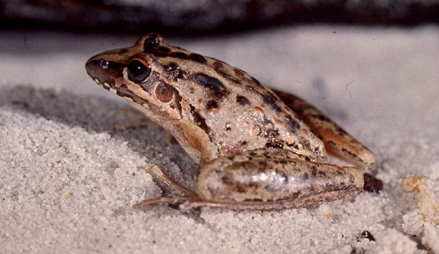 Wallum Rocketfrog – Litoria freycineti