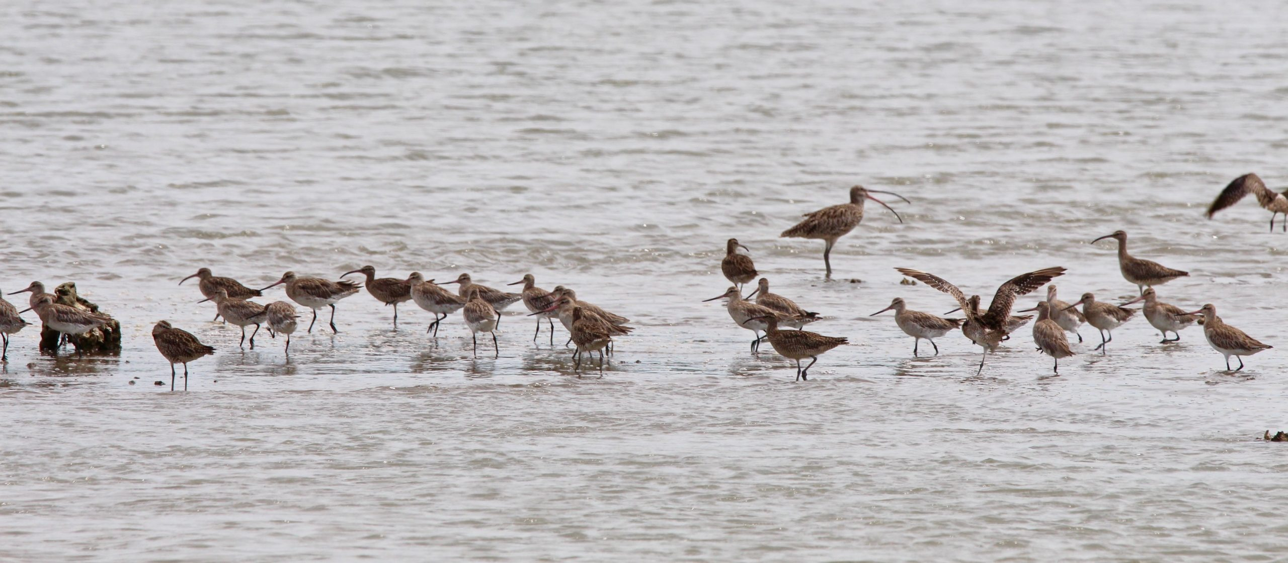 Eastern Curlew at rear