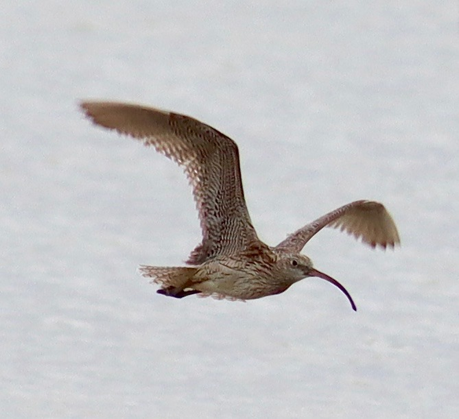 Eastern Curlew 4.10.20